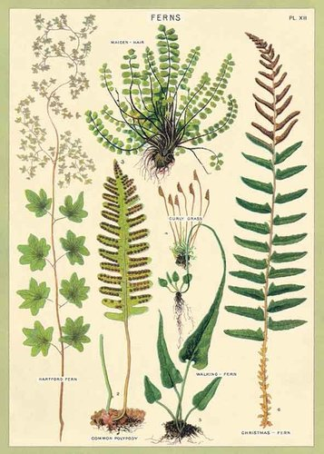 Juliste Cavallini - Ferns