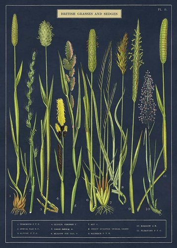 Juliste Cavallini - Grasses & Sedges