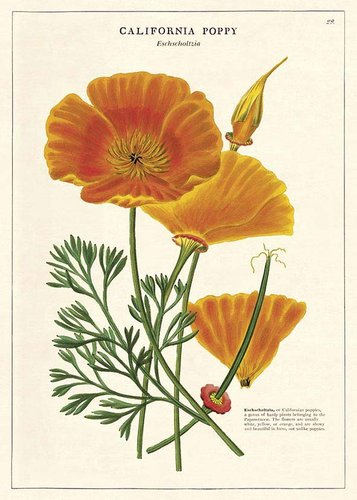 Juliste Cavallini - California Poppy